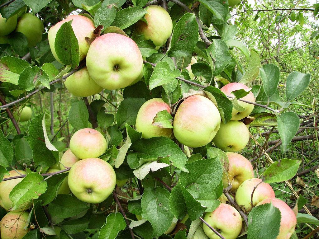 Яблоня плодовая китайко золотая поздняя (c9-с13)